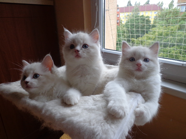Linlithgow Cats For Sale Classifieds Free Ads West Lothian