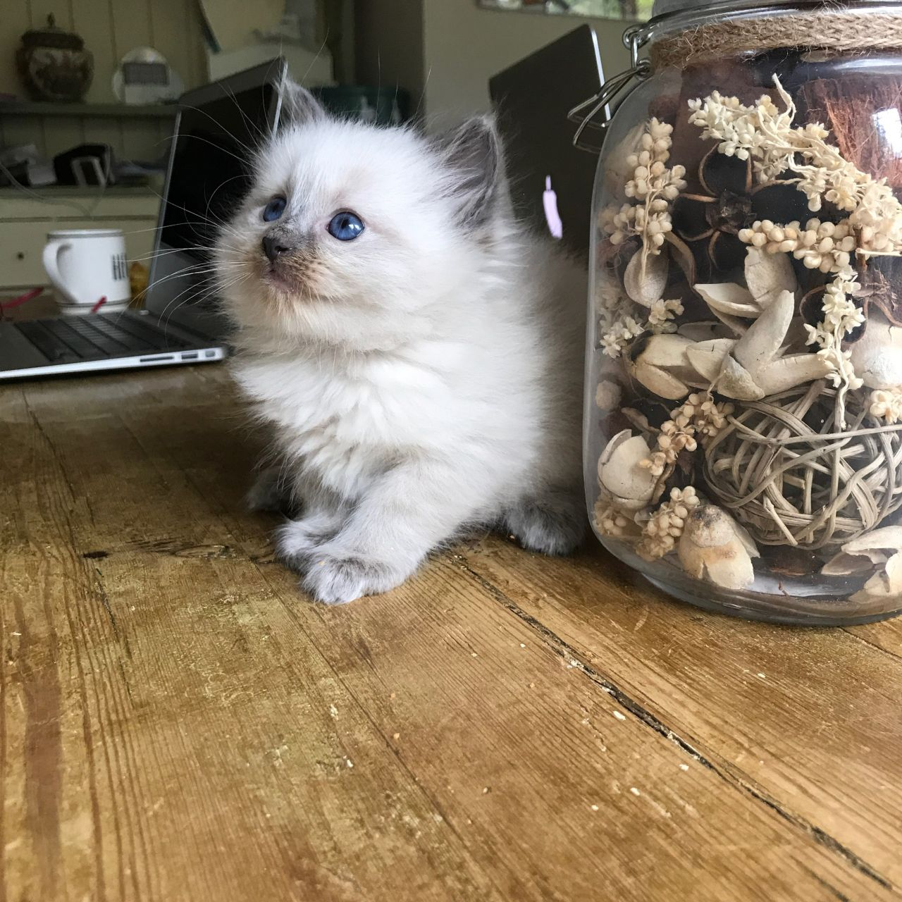 Kittens For Sale in Wyre Forest Shropshire Classifieds Free Ads