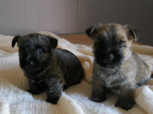 Cairn Terrier Puppies For Sale | Lower Foxdale | Isle Of Man