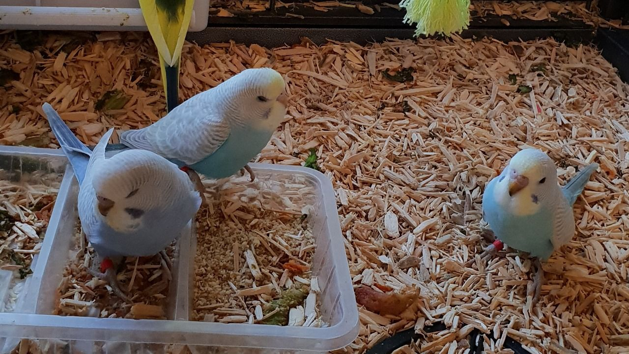 Budgies For Sale in Grimsby Classifieds Free Ads Lincolnshire