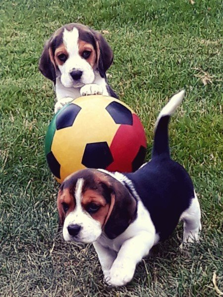 Beagle Puppies For Adoption in Shap Classifieds Free Ads Cumbria