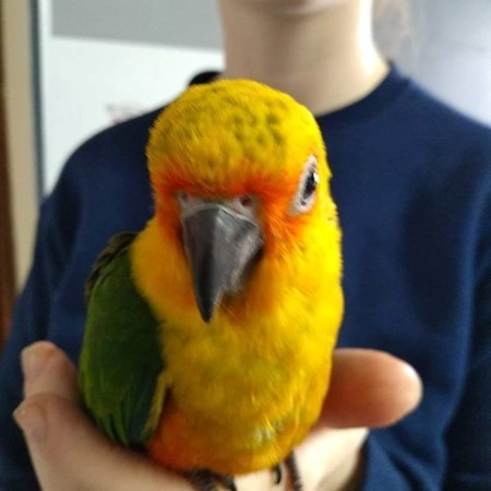 Sun Conure in Skegness Classifieds Free Ads Lincolnshire