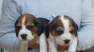 Sutton Puppies For Sale in Surrey Classifieds Free Ads