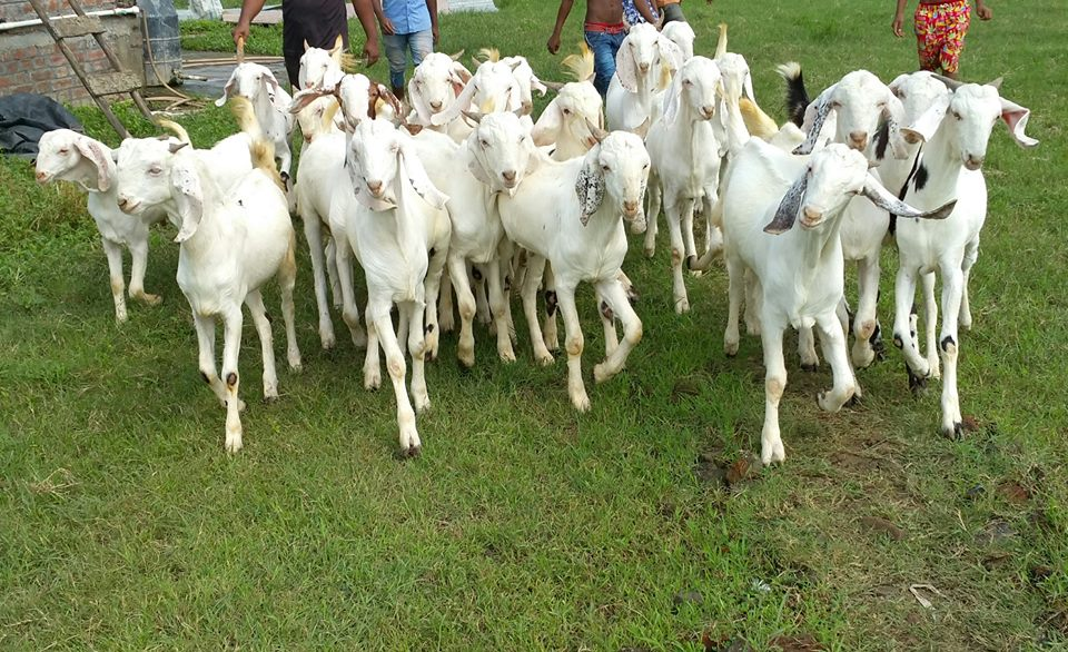 Goat For Sale in Argyll Argyll And Bute Classifieds Free Ads