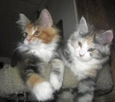 Cats For Sale in Redruth Cornwall Classifieds Free Ads