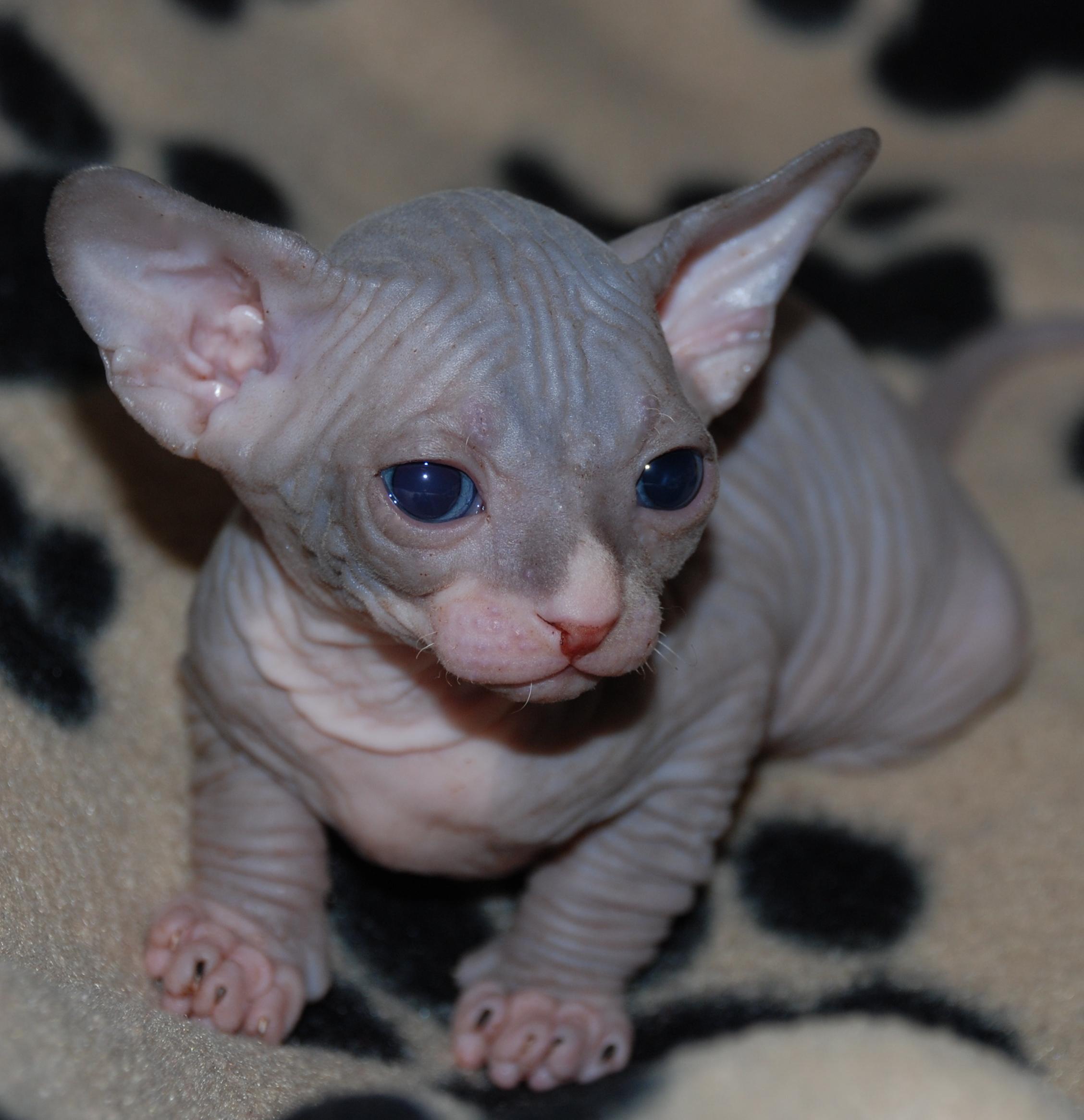 Kittens For Sale in Abertyleri (abertillery) Blaenau Gwent