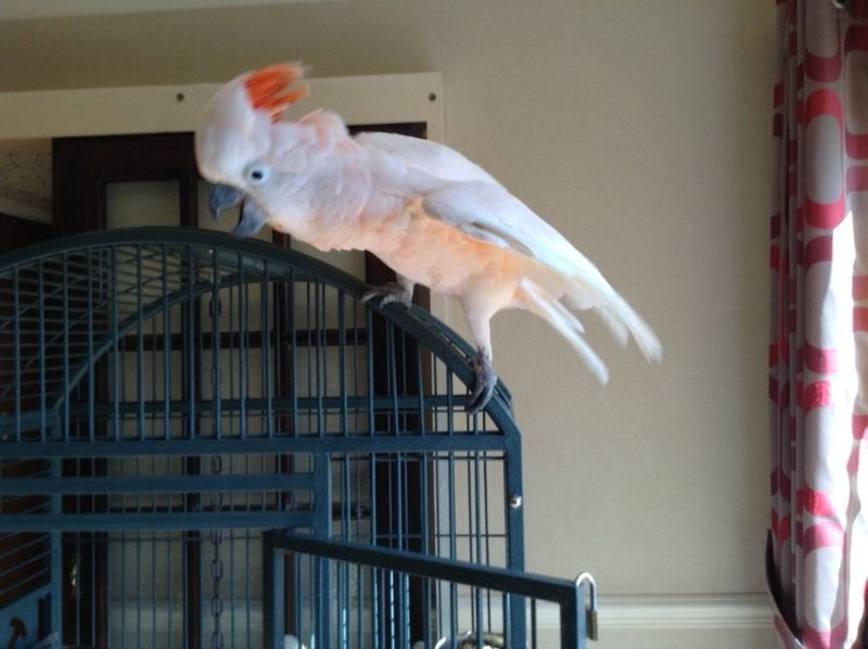 Parrots For Sale in Darlington Durham Classifieds Free Ads