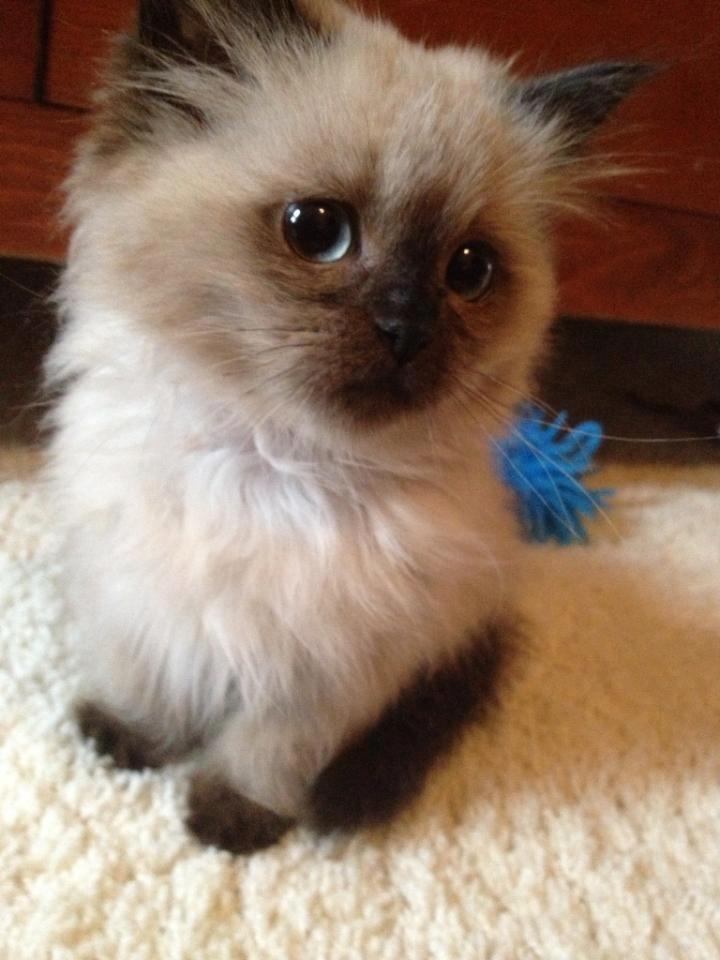 Kittens For Sale in Orkney Islands Orkney Classifieds Free Ads