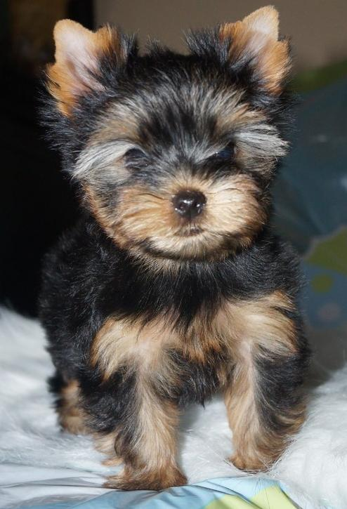Wigan Puppies For Sale Classifieds Free Ads Lancashire
